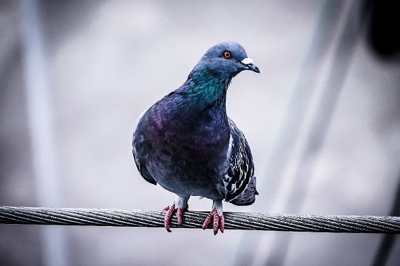 Homing Pigeons vs  Carrier Pigeons: Are They the Same? - My